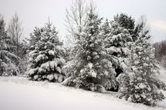 Snowy Trees. A Forest of Trees after a snow fall in Traverse City, MI stock image