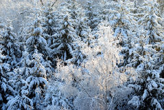 Snowy Trees. A beech sorrounded by pine trees Stock Photo