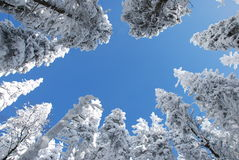 Snowy trees. In winter beskydy mountains Stock Photography