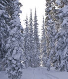 Snowy trees Royalty Free Stock Image