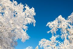 Snowy trees from below, blue sky Royalty Free Stock Photos