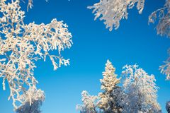 Snowy trees from below, blue sky Stock Photo