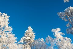 Snowy trees from below, blue sky background. In winter royalty free stock photography