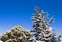 Snowy trees on blue sky Royalty Free Stock Images
