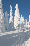 Snowy trees and blue sky. A photo taken at very snowy day. The ground is covered by very thick snow on which a walk way is stamped into. Tall and thin trees are Stock Images