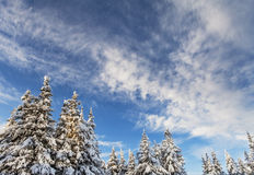 Snowy trees with blue sky Royalty Free Stock Images