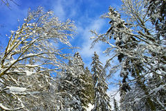 Snowy treetops at blue sky Royalty Free Stock Photo
