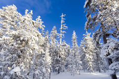 Snowy trees and bright blue sky Stock Photos