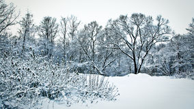 Snowy trees and bushes in forest in dusk Stock Image