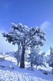Snowy trees in countryside Royalty Free Stock Image