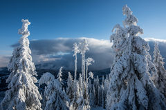 Snowy trees. Snowy trees in east Carpathians mountains, Harghita region, Romania Royalty Free Stock Photo