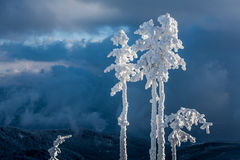 Snowy trees. Snowy trees in east Carpathians mountains, Harghita region, Romania Royalty Free Stock Images