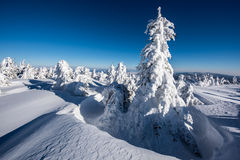 Snowy trees. Snowy trees in east Carpathians mountains, Harghita region, Romania Stock Images