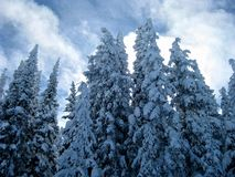 Snowy Trees 3. Even more snowy trees in Steamboat Springs, Colorado royalty free stock photo