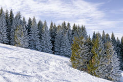 Snowy trees in forest. White snowy coniferous trees in forest Royalty Free Stock Photo