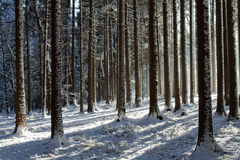 Snowy trees in forest Stock Photo