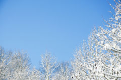 Snowy trees fram a clear blue sky. Stock Photography