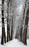 Snowy trees in line. Winter view: two lines of snow covered trees Stock Images
