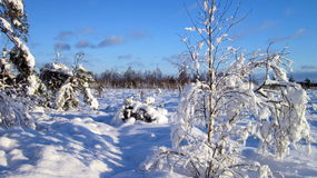 Snowy  trees, Lithuania Royalty Free Stock Images