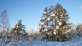 Snowy  trees, Lithuania Stock Photos