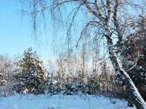 Snowy  trees, Lithuania Royalty Free Stock Photo