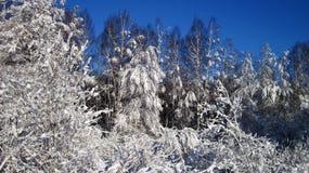 Snowy  trees, Lithuania Stock Photo