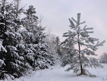 Snowy  trees, Lithuania Stock Photography