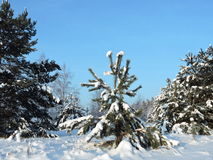 Snowy  trees, Lithuania Stock Images