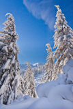 Snowy trees and mountains. Snowy bended toptrees of fir trees and mountains against the blue sky Royalty Free Stock Photo
