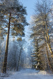 Snowy trees next to a snowy footpath Stock Photography