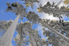 Snowy trees no.1 Royalty Free Stock Images