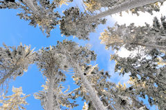 Snowy trees no.4 Royalty Free Stock Photos
