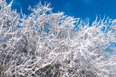 Snowy trees over blue sky Royalty Free Stock Images