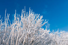Snowy trees over blue sky Royalty Free Stock Image
