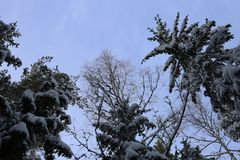 Snowy Trees Photographed from Below royalty free stock photos