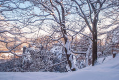 Snowy Trees in Saxon Switzerland. In winter time nearly sunset Stock Images