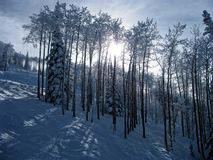 Snowy Trees. On a ski trail in Steamboat Springs, Colorado stock image