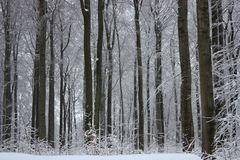 Snowy trees. Tree trunks in a snowy forest Stock Photography