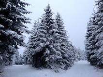 Snowy trees Royalty Free Stock Photo