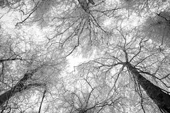 Snowy trees in winter - black and white. Standing between snowy trees looking to the sky - horizontal black and white image Royalty Free Stock Photo