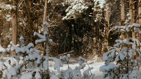 Snowy trees in the winter forest stock video