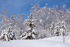 Snowy trees in winter forest Royalty Free Stock Image
