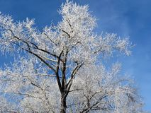 Snowy trees in winter, Lithuania Royalty Free Stock Images