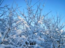 Snowy trees in winter, Lithuania Royalty Free Stock Image