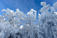 Snowy Trees in Winter Royalty Free Stock Photo
