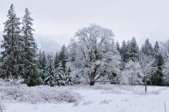Snowy treetops Royalty Free Stock Photography