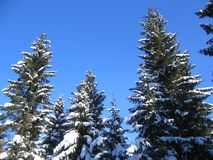 Snowy treetops. Spruces with snow against blue sky Stock Photography