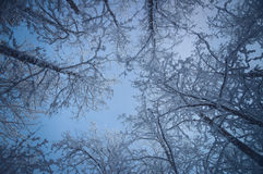 Snowy treetops against blue sky Royalty Free Stock Image