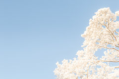 Snowy treetops in the blue sky. Stock Image