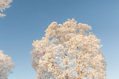 Snowy treetops in the blue sky. Stock Photography